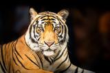 Sibirischer Tiger Fotografie-Druck von  fotoslaz