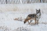 Coyote Winter Hunt Fotografie-Druck von  duallogic