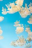 Spotted Lagoon Jelly, Golden Medusa, Mastigias Papua Lámina fotográfica por  steffstarr