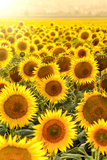 Sunflower Field at Sunset Fotografie-Druck von Davizro Photography