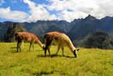 Pair of Llamas in the Peruvian Andes Mountains Lámina fotográfica por  flocu