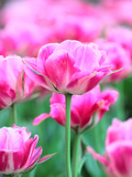 Queen of Marvel Tulip, Close-Up Photographic Print by Valitov Rashid