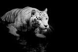 Hvid tiger Posters af  Kjersti