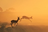 Springbok and Golden Sunset Background - Wildlife from the Free and Wild in Africa Fotografie-Druck von Naturally Africa