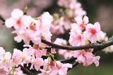 Japanese Flowering Cherry Blossoms Fotografie-Druck von  kamill