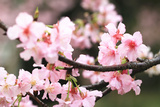 Japanese Flowering Cherry Blossoms Photographic Print by  kamill