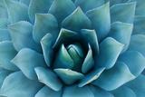 Agave Plant Stampa fotografica di Carly Hennigan