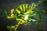 Veiled Chameleon Fotografie-Druck von  Gaschwald