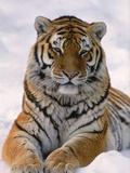 Siberian Tiger in Snow, Panthera Tigris Altaica Fotografie-Druck von Lynn M. Stone
