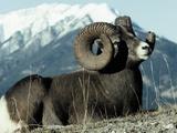 Rocky Mountain Bighorn Sheep, Jasper National Park Lámina fotográfica por Lynn M. Stone