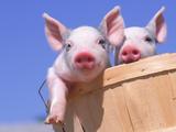 Mixed-Breed Pigs Fotografisk tryk af Lynn M. Stone