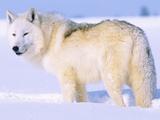 Arctic Wolf, Canis Lupus Arctos Fotografie-Druck von Lynn M. Stone