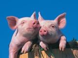 Two Pigs in a Bushel Fotografie-Druck von Lynn M. Stone