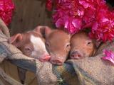 Piglets in Barrel with Flower Fotografie-Druck von Lynn M. Stone