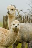 An Alpaca Mother and Baby Fotografie-Druck von  acceleratorhams
