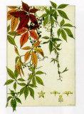 Hedera Poster von M. P. Verneuil