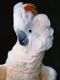 Cockatoo Displaying Crest Photographic Print by Chase Swift
