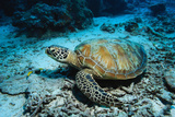Green Turtle on Sea Floor Photographic Print by Robert Marien