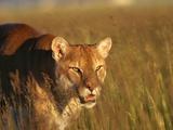 Mountain Lion Roaming in Field Fotografie-Druck von Jeff Vanuga