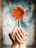 Hands Holding a Gerbera Daisy Photographic Print by Colin Anderson