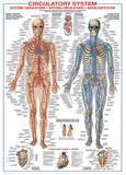 Circulatory System Prints