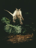 A Fright Reflex Propels This Armadillo into the Air Impressão fotográfica por Bianca Lavies