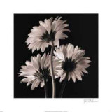 Gerber Daisies II Poster by Michael Harrison