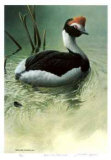 Highland Pool - Hooded Grebe Reproduction pour collectionneur par Michael Dumas
