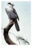 Pine Woods - Gray Jay Reproduction pour collectionneur par Michael Dumas