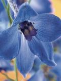 Blooming Delphinium Fotografisk tryk