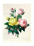 """Rosa Lutea and Rosa Indica, from """"Les Choix Des Plus Belles Fleurs,"""" 1827 Giclée-tryk af Pierre-Joseph Redouté"""