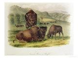 Bison from Quadrupeds of North America (1842-5) Giclee-trykk av John James Audubon