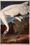 "Whooping Crane, from ""Birds of America"" Giclée-vedos tekijänä John James Audubon"
