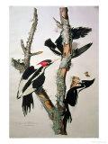"Ivory-Billed Woodpecker, from ""Birds of America,"" 1829 Reproduction procédé giclée par John James Audubon"