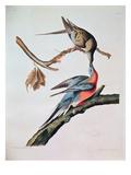 Passenger Pigeon, from 'Birds of America' Reproduction procédé giclée par John James Audubon