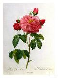 Rosa Gallica Aurelianensis Reproduction procédé giclée par Pierre-Joseph Redouté