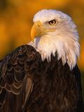 Bald Eagle Impressão fotográfica por W. Perry Conway