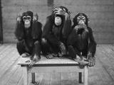 Chimpancés que no escuchan, ven o dicen el mal Lámina fotográfica