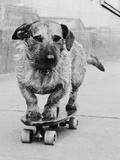 Dog Riding Skateboard Reproduction photographique par  Bettmann