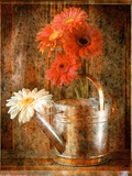 Gerbera Daisies in a Watering Can Photographic Print by Colin Anderson