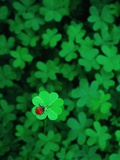 Ladybug on Four Leaf Clover Valokuvavedos tekijänä Bruce Burkhardt