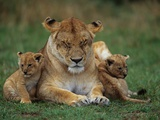 Lioness Resting with Cubs Photographic Print by Joe McDonald