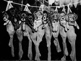 Puppies Hanging from a Clothesline Impressão fotográfica por  Bettmann