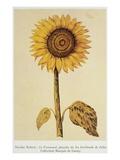 The Sunflower Giclee Print by Nicolas Robert
