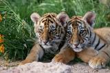 Two Siberian Tiger Cubs Impressão fotográfica por W. Perry Conway