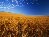 Wheat Field Photographic Print by Darrell Gulin