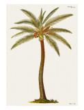 Palmier cocotier Reproduction procédé giclée par Georg Dionysius Ehret