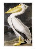 American White Pelican Giclée-tryk af John James Audubon