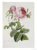 Rosa Giclée-tryk af Pierre-Joseph Redouté