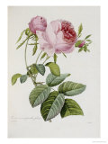 Rose Giclee Print by Pierre-Joseph Redouté